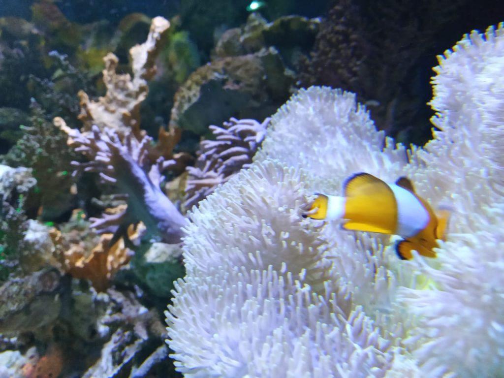 ikan badut seaworld