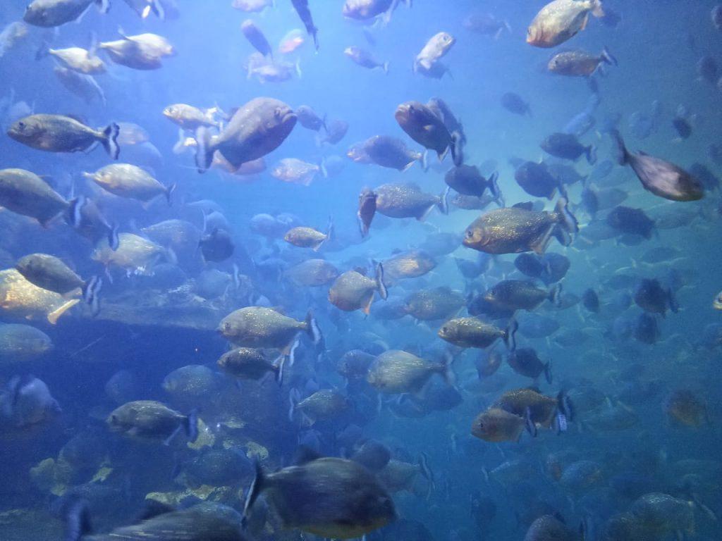 ikan piranha seaworld